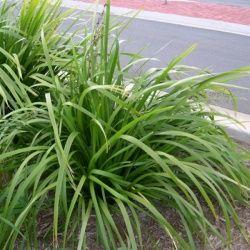 Lomandra hystrix beautiful clean foliage