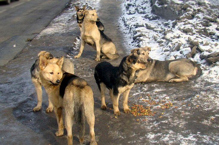 http://vesti-yamal.ru/ru/vjesti_jamal/lyudmila_ivanova_rasskazala_jurnalistam_o_probleme_otlova_brodyachih_sobak159946  По новым правилам срок содержания в вольерах отловленных собак сокращён до месяца. Если за это время хозяин не объявится, или представители общественных организаций в сфере защиты животных, не найдут ему новых, то сотрудники ветеринарной службы обязаны будет усыпить собаку. Общественники получат полный доступ к временным вольерам и смогут проверять, как содержатся…
