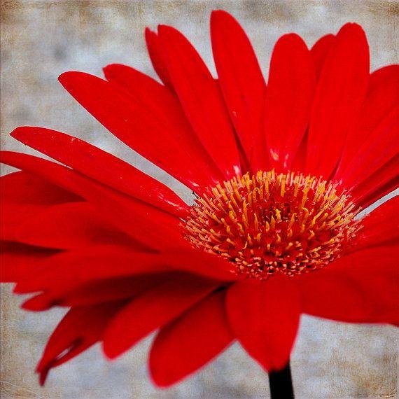Red Daisy Square Format  Fine Art by kellywarrenphotoart on Etsy, $18.00