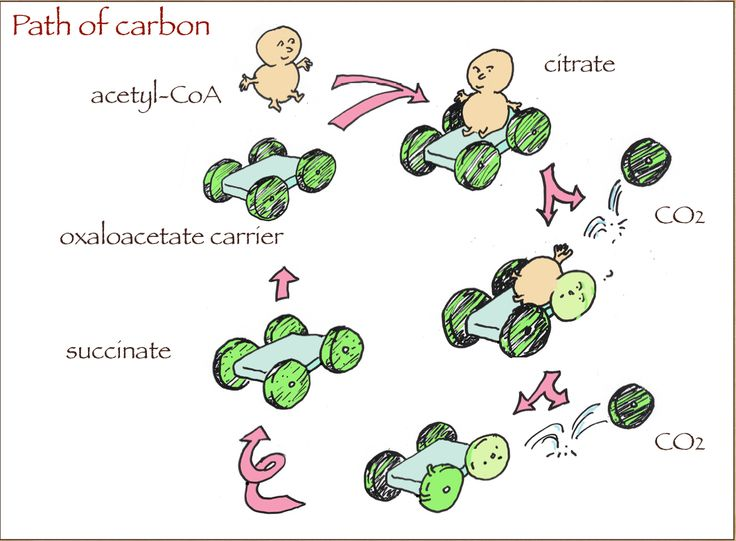 The fate of carbons in the TCA cycle. Acetyl-CoA is the substrate for the TCA cycle and it is converted to 2 moles of CO2. To do this, it is attached to OAA which is a carrier; the TCA cycle intermediates are not true intermediates. The fine point is that whereas the net reaction is the oxidation of acetyl-CoA, microscopically, it is the carbons from the carrier that get oxidized.