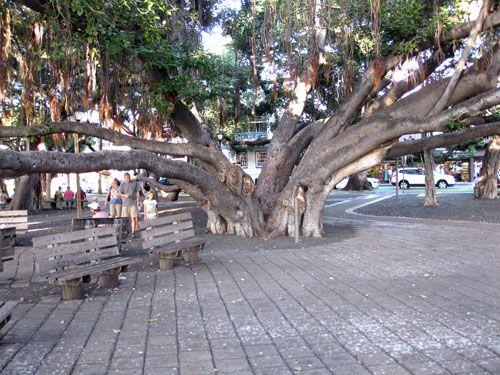 Giant Banyan Tree Maui