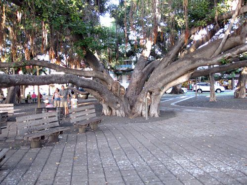 Giant Banyan Tree Lahaina - eat at Cool Cat Cafe or Pioneer Inn - go on the weeked to see art vendors