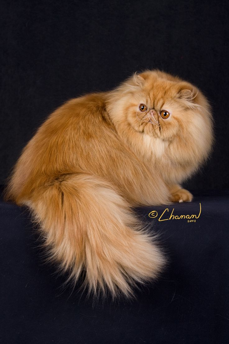Red Persian - Learn more about the breed at www.cfainc.org