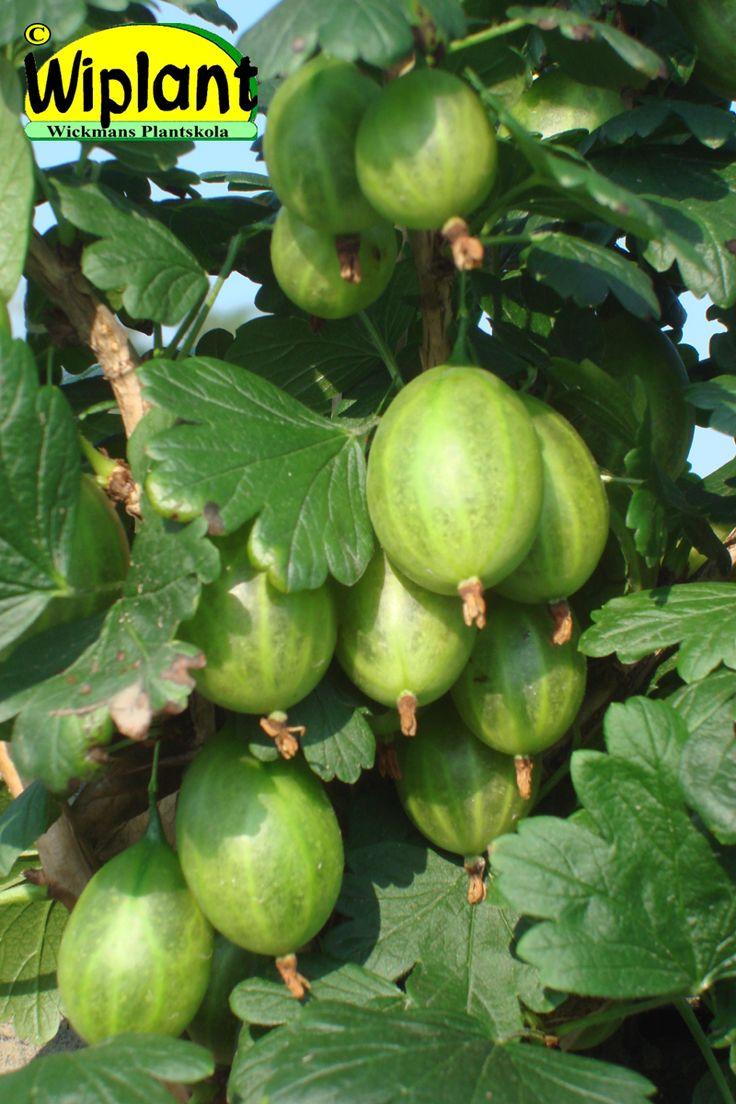 Ribes uva-crispa 'Tatjana', Krusbär. Stora gröna saftiga bär.  Tagglös sort.  Mjuk smak.  Mognar i juli.
