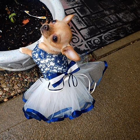 So cute dog in a tutu