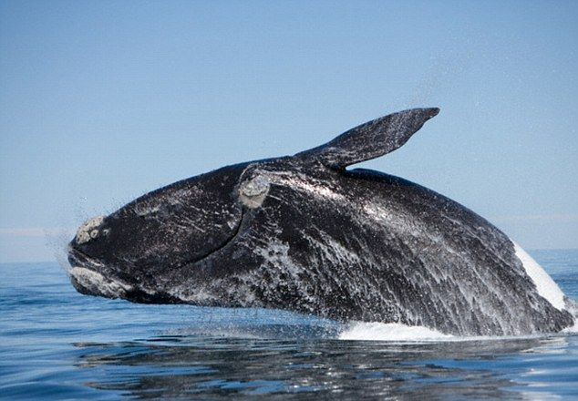 The southern right whale is a baleen whale - a whale that filters plankton from the water (stock image pictured)