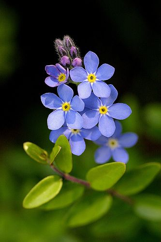 (Myosotis sylvatica) The beautiful 'Forget me not' - that brought Claire back to the stones...
