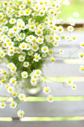 beautiful Chamomile - includes lots of recipes for Chamomile