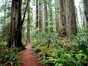 Humboldt County Redwood National Park - Lady Bird Johnson Grove - the smell of the needles as you walk along the paths is enchanting