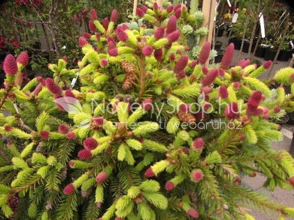 Picea abies Pusch , Törpe tobozfenyő Az ismert lucfenyő törpe növekedésű…