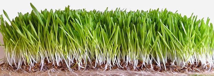 ječmena trava, sok od ječmene trave , prah od ječmene trave