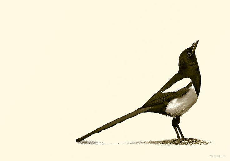 Magpie illustration / Illustrazione Gazzaladra - Art by Culpeo-Fox on deviantART