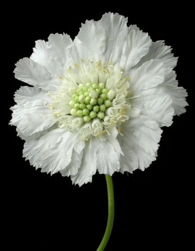 Glitter for Breakfast - Scabiosa caucasica 'Perfecta Alba' | via aquiya