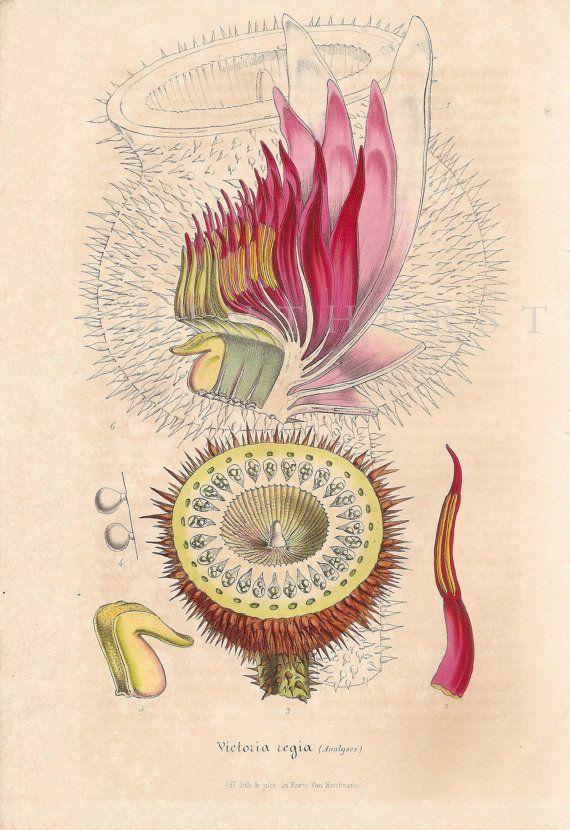 "Antique botanical chromolithograph, "" Victoria Regia"" (water lily). Louis Van Houtte. 1847."