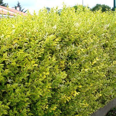 Troëne de Californie doré Variété à feuillage panaché de vert et jaune, le Ligustrum ovalifolium aureum s'utilise en haie libre ou taillée, seul ou en mélange à d'autres arbustes : Photinia, Eleagnus, troène vert, laurier tin,... C'est un superbe arbuste pouvant atteindre 3-4m. Il a un port arrondi. Son feuillage est persistant voir semi-persistant. Les feuilles sont petites, ovales, épaisses et largement panachées de jaune vif. La floraison donne des panicules blanches et pa...