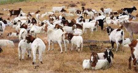 El reparto de las cabras del anciano