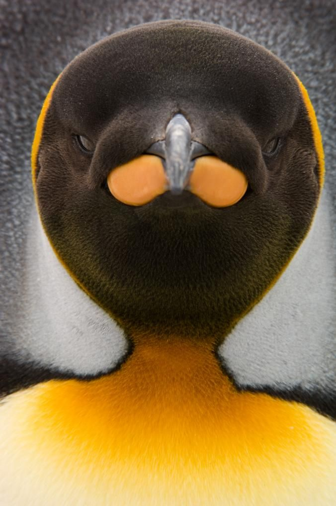 Our Favorite Penguin Pictures: Fuzzy Chicks, Expert Divers, More