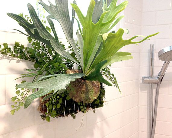 Hey, I found this really awesome Etsy listing at https://www.etsy.com/listing/227797081/shower-garden-staghorn-fern-arrangement
