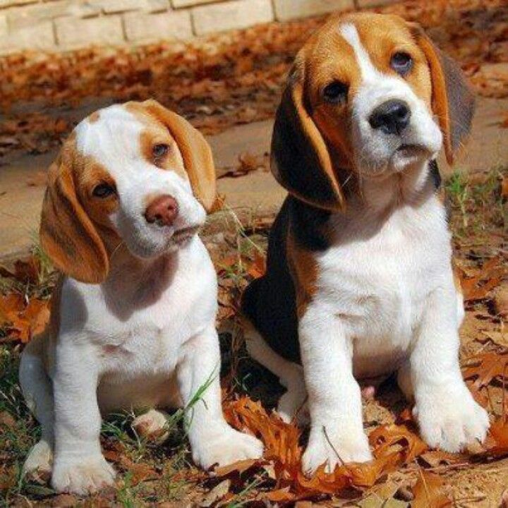 Beagle puppies                                                                                                                                                                                 More