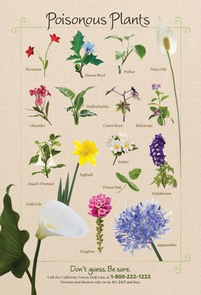 Know what's in your garden - our poisonous plant poster shows these dangerous beauties that are native to CA