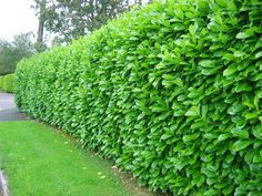 Laurel Hedging - to separate the garden. Much prettier than conifers.