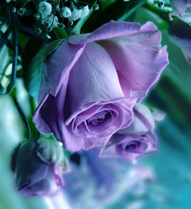 Purple stands for enchantment. The giver of the purple rose seeks to convey that he or she has fallen in love with the recipient at the very first sight. Purple is also tied with royalty, dignity and pride which represent admiration and achievement.