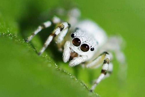 A white jumping spider from Muzhao mountain in Chongqing.  (Getty Images)