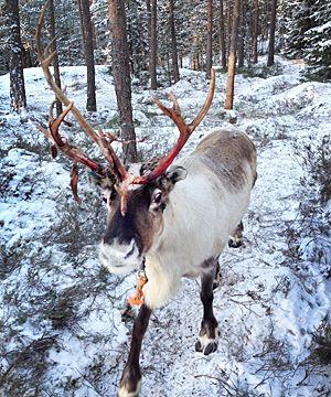 Reindeer park in Nuuksio Park