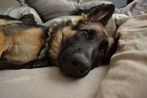 Have I mentioned that I LOVE German Shepherd dogs? #germanshepherd