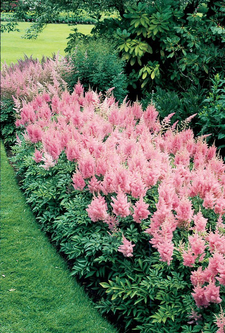 Pink Astilbe. Shade loving perennial.