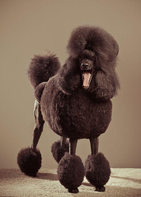 27 Best Dog Kennel Images On Pinterest Poodles Standard