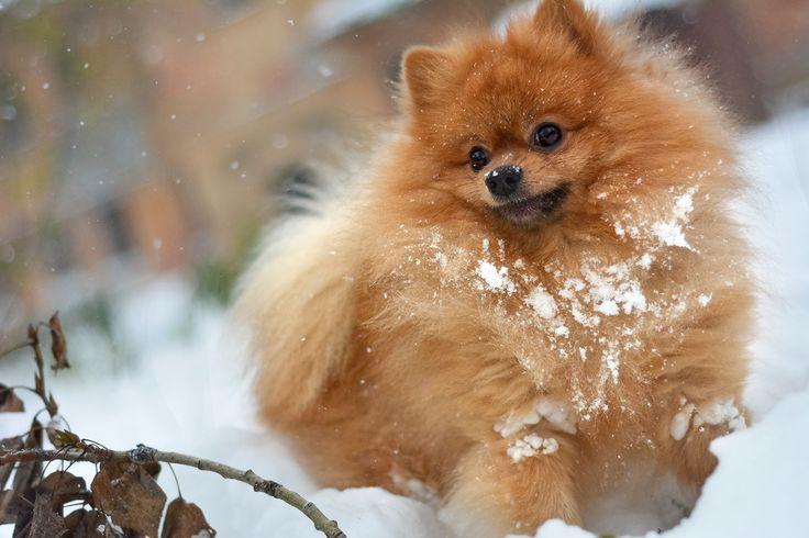 собака, собачка, шпиц, в снегу, снег, рыжий, мохнатый, лохматый, играет, игра, палка, апорт, веселится, сухая ветка, сухая листва, зима, осень, белый, снежный, листья, ветка, ветвь, сугроб, в сугробе, идет снег, померанец, немецкий малый шпиц snow, Spitz, dog, redhead, snowdrift, branch, leaves, autumn, winter, stick, branch