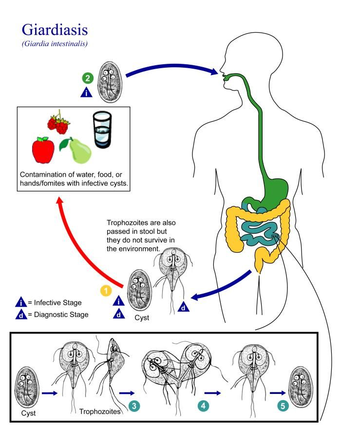 PHIL Image 3394 - This is an illustration of the life cycle of Giardia lamblia (intestinalis), the causal agent of Giardiasis http://1.usa.gov/1HdCBi8