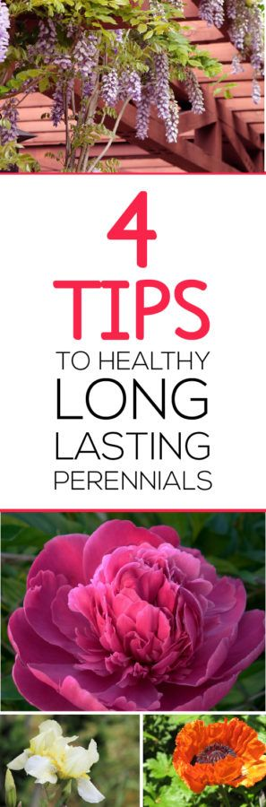 4 Tips to Healthy Long Lasting Perennials! READ and learn how to be the gardener you want to be!