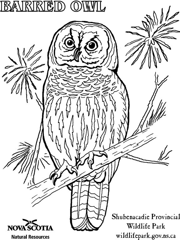 great horned owl coloring pages - photo#23