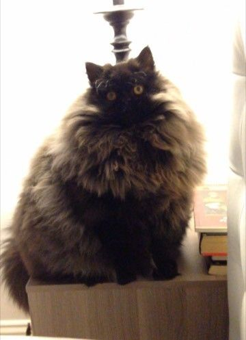 brownie le chat majestueux