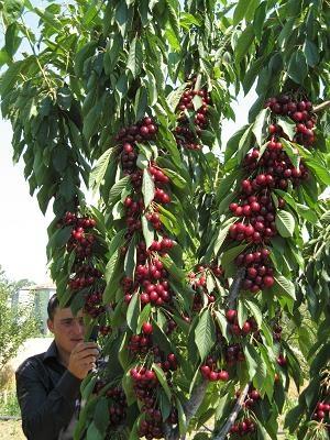 KIRAZ BAHCELERI - TURKIYE