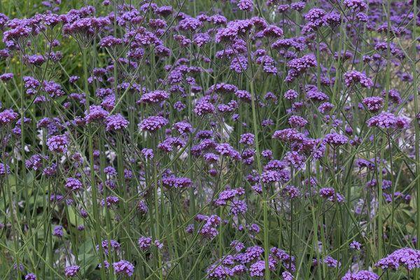 Tall Yellow Perennial Identification Slender Purple Flowers Verbena Bonariensis A So Called Gardens Landscaping Pinterest Flowering