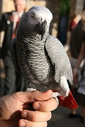 Google Image Result for http://upload.wikimedia.org/wikipedia/commons/thumb/2/22/African_Grey_Parrot_(Psittacus_erithacus)_-held_on_hand.jpg/170px-African_Grey_Parrot_(Psittacus_erithacus)_-held_on_hand.jpg