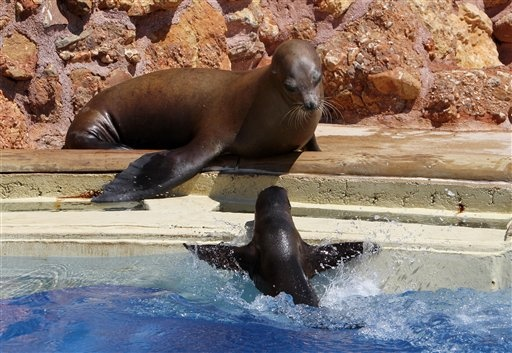 A two month-old California sea lion pup plays with the water as its mother looks on at the Attica Zoological Park in Spata, near Athens