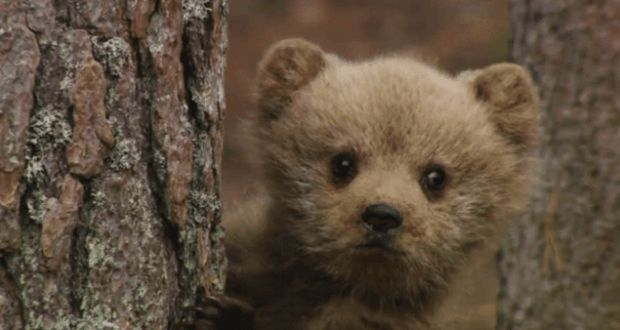 Brown Bear Cubs Learn to Climb Trees from Mama [VIDEO]