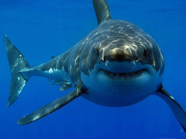 Crecen los números del gran tiburón blanco