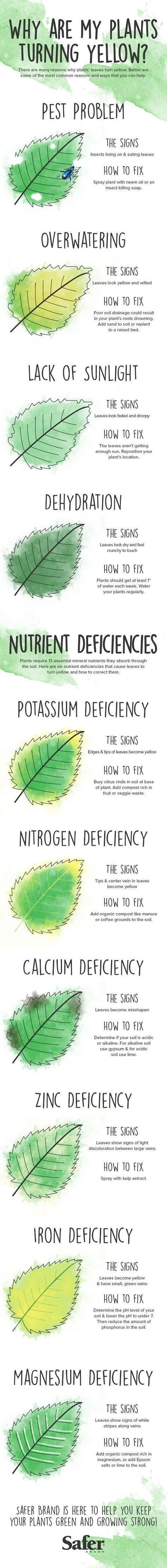 yellowing leavings, dying plants, plants turning yellow, gardening, green thumb, organic gardening, gardening tips, house plant gardening, house plants, plant growing tips, infographics, reader submission, safer brand #hydroponicsinfographic