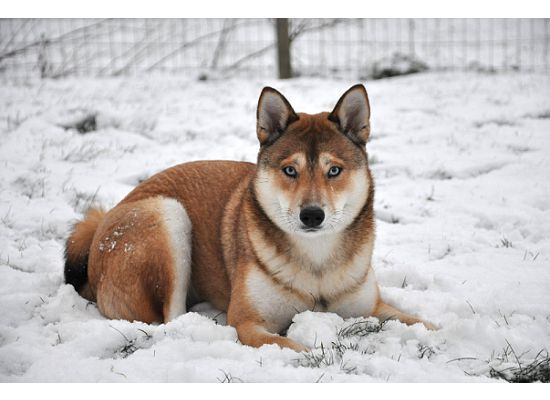 Miniature Husky Shiba Inu Mix   Looks like a cool dog  wonder how good they are with kids