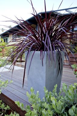 Cordyline 'Design-A-Line Burgandy'