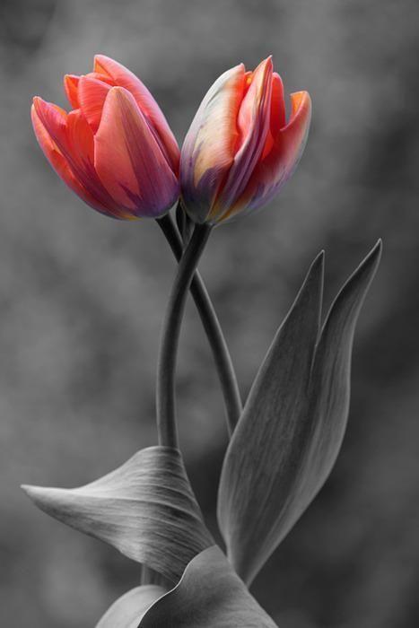 Tulipes entrelacées <3 ****