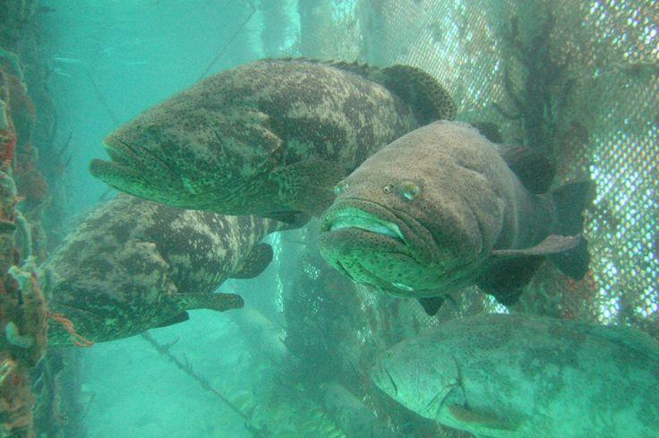 El último plan para acabar con el pez león   ELESPECTADOR.COM