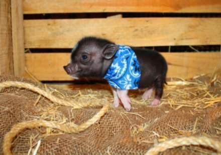 Mini Teacup Pigs | Micro Mini Teacup Pig - Blue-Eyed - Nano Pigs - Miniature Piggies ...