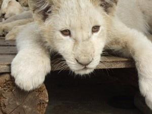 white lion cub, so cute! Port Elizabet, South Africa