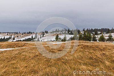 Winter landscape with snow on  the ground and green pine trees and dry grass in the foreground, 2017, Paltinis, Romania